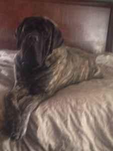 English Mastiff For Stud Stunning Brindle  Listing Image