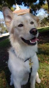 Looking for a friendly beautiful female to make excellent familydog pups Listing Image Thumbnail