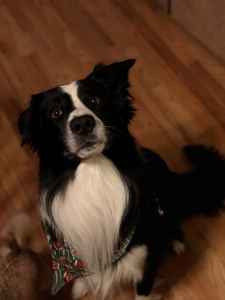 Pure breed border collie Listing Image