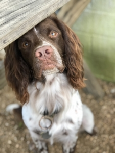 Field English Springer Spaniel Listing Image