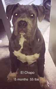 Blue Staffordshire Terriers Listing Image