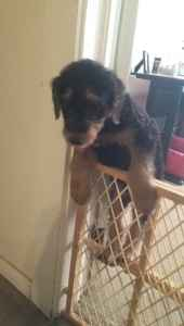 2-1/2 year old Airedale Terrier stud available  Listing Image