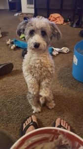 Male Doxiepoo (white with blue eyes) amazing dog Listing Image