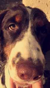 Looking to breed our English Springer Spaniel stud Listing Image