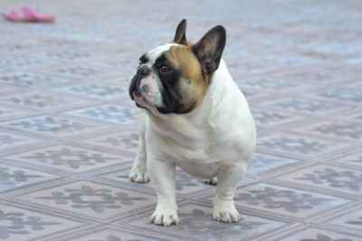 Male French Bulldog  Listing Image