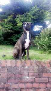 Staffy Stud Wanted Listing Image