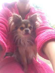 Stunning Chihuahua - Available for Stud Listing Image