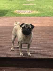 pug for stud Listing Image