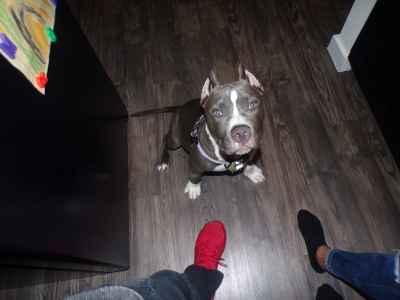 Blue/White American Bulldog Listing Image