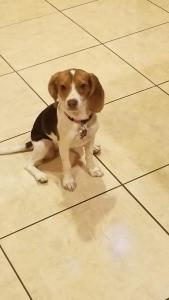 Female beagle purebred  Listing Image Thumbnail