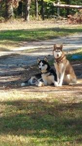 Akc  Siberian husky stud  Listing Image Thumbnail
