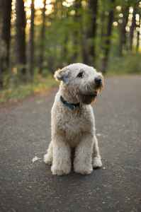 Healthy AKC Male Soft Coated Wheaten Terrier Listing Image