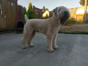 Healthy AKC Male Soft Coated Wheaten Terrier Listing Image Thumbnail