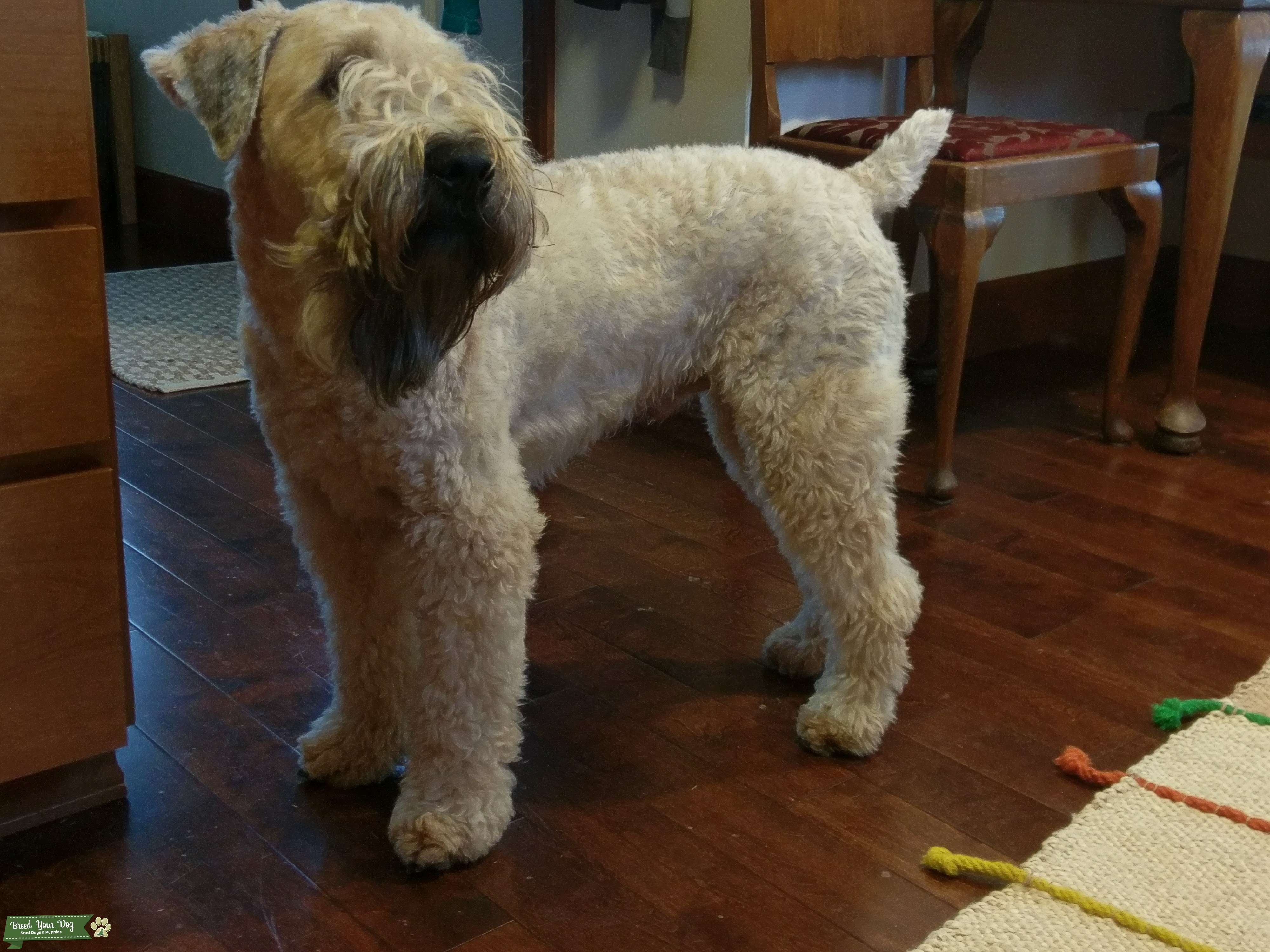 Healthy AKC Male Soft Coated Wheaten Terrier Listing Image Big