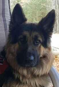 German Shepherd stud dog Listing Image
