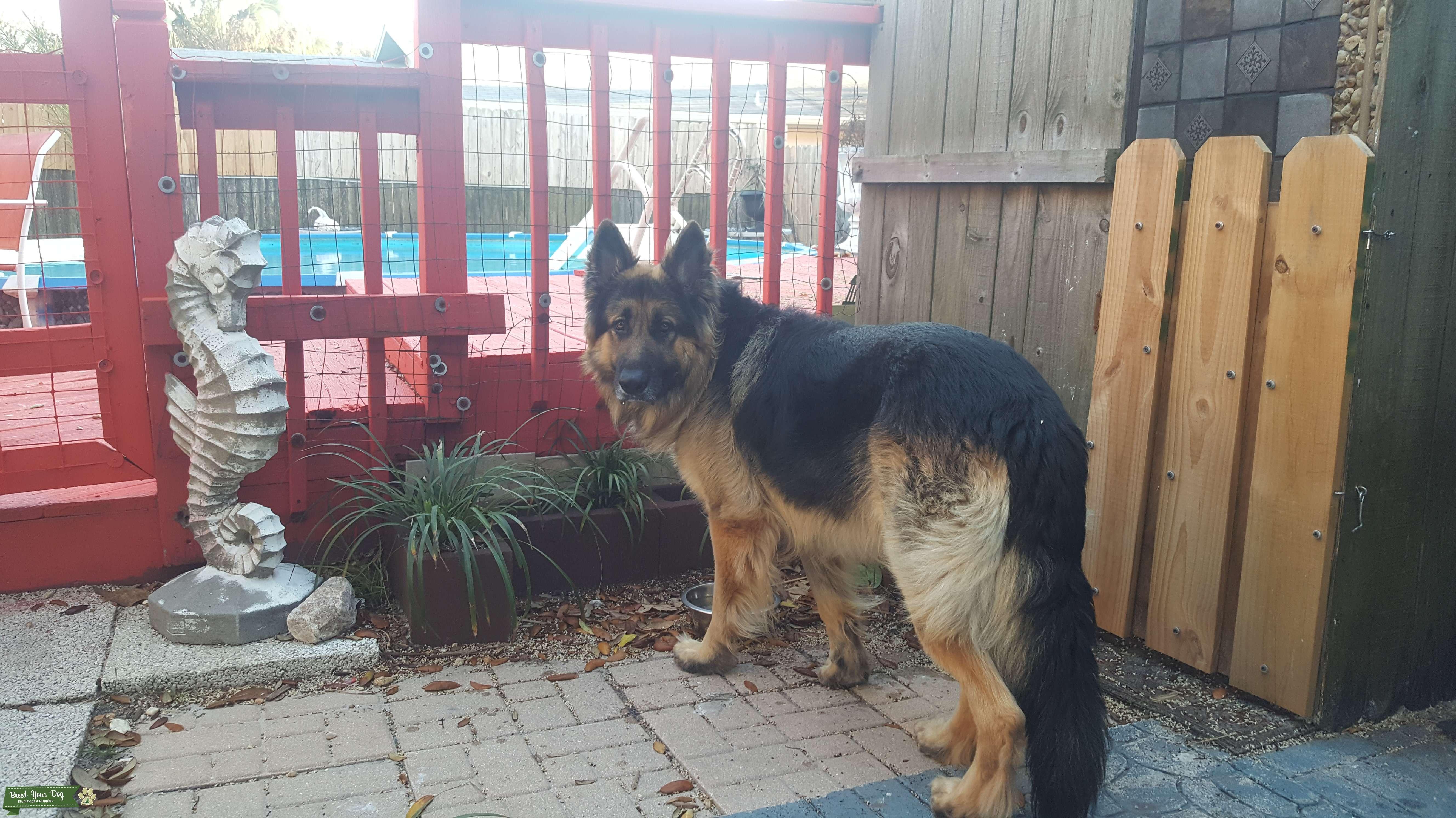 German Shepherd stud dog Listing Image Big