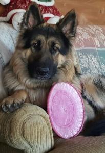 German Shepherd stud dog Listing Image Thumbnail