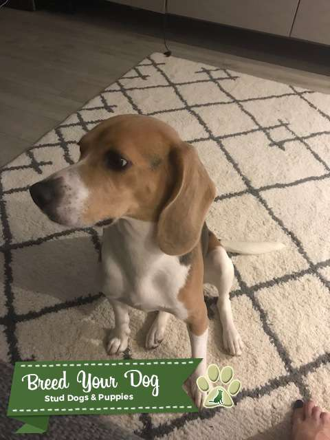 looking for a Male Beagle  Listing Image Big