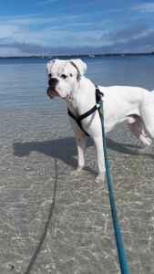 White Boxer  Listing Image