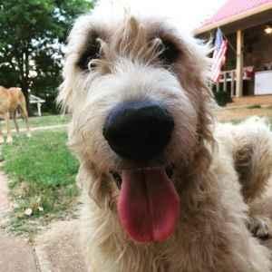 AKC, CKC Irish Wolfhound Listing Image