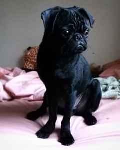 Purebred Black Pug Stud Listing Image