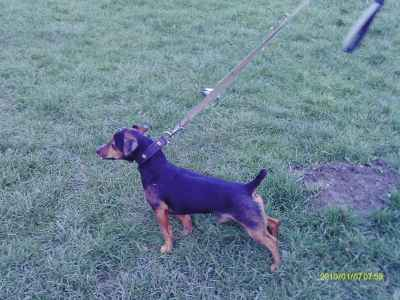 black and brown jackrussell Listing Image