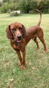 Redbone Coonhound Stud Listing Image