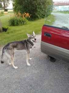 Ameri-Indian Husky Stud. Listing Image