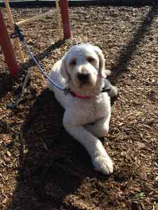 F1 Goldendoodle Male Listing Image