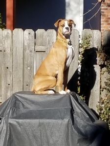 Looking for a purebred Female boxer to mate with my Boxer Male Listing Image Thumbnail