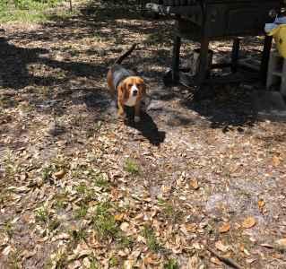 Male Beagle Listing Image