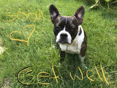 Adorable Boston terrier male looking for a girlfriend  Listing Image