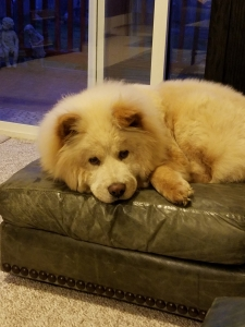 Chow Chow Stud Dogs Available Now - Breed Your Dog