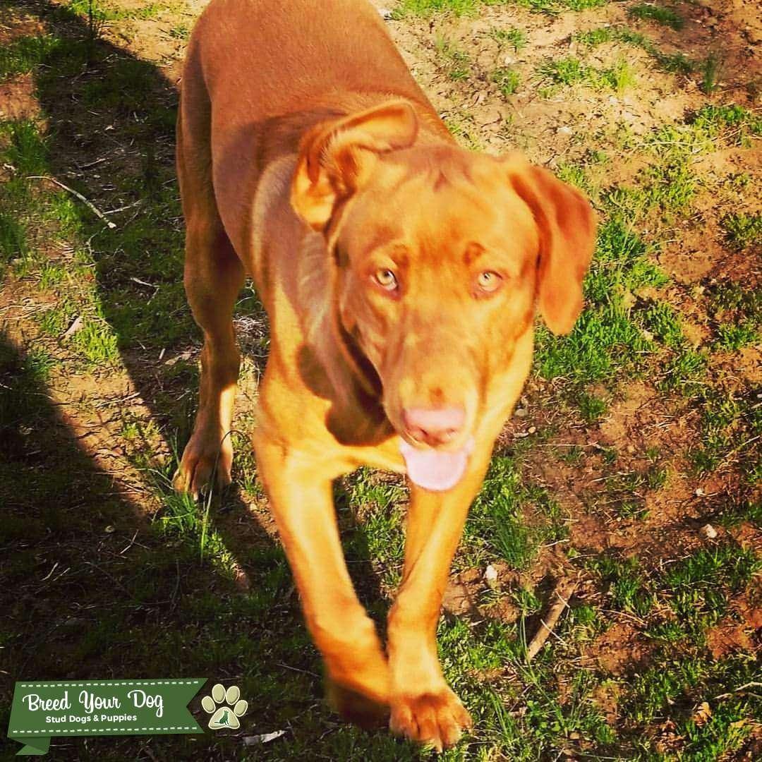 Fox Red Labrador for Stud Listing Image Big