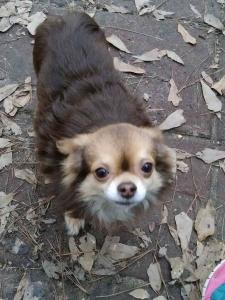 AKC Long Hair Chihuahua Stud Listing Image