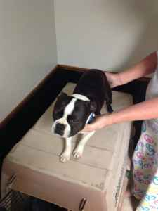 Boston Terrier available for stud Listing Image