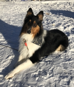 Beautiful Bright Boy Rough Collie Male for Stud Listing Image