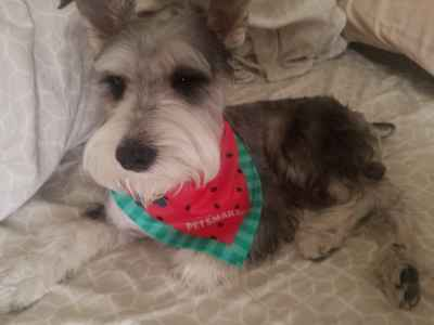 Looking the breed Male Mini Schnauzer  Listing Image