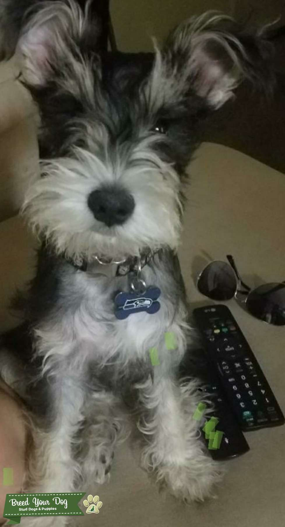 Looking the breed Male Mini Schnauzer  Listing Image Big