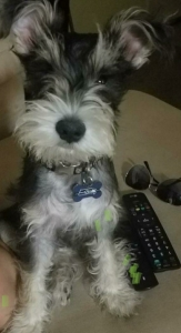 Looking the breed Male Mini Schnauzer  Listing Image Thumbnail