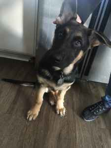 Purebred German Shepherd looking for future bitch Listing Image