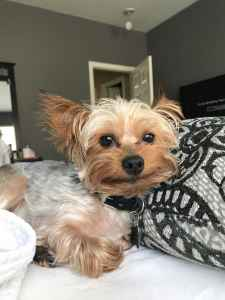 looking for female yorkie to mate  Listing Image