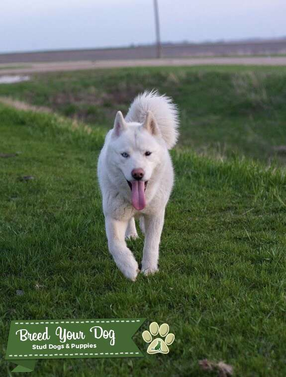 Stud Dog - White Husky looking to breed for Pomskies - Breed