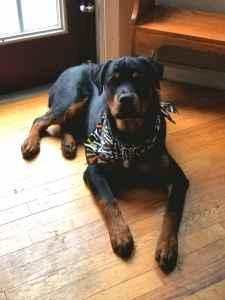 AkC Rottweiler  Listing Image