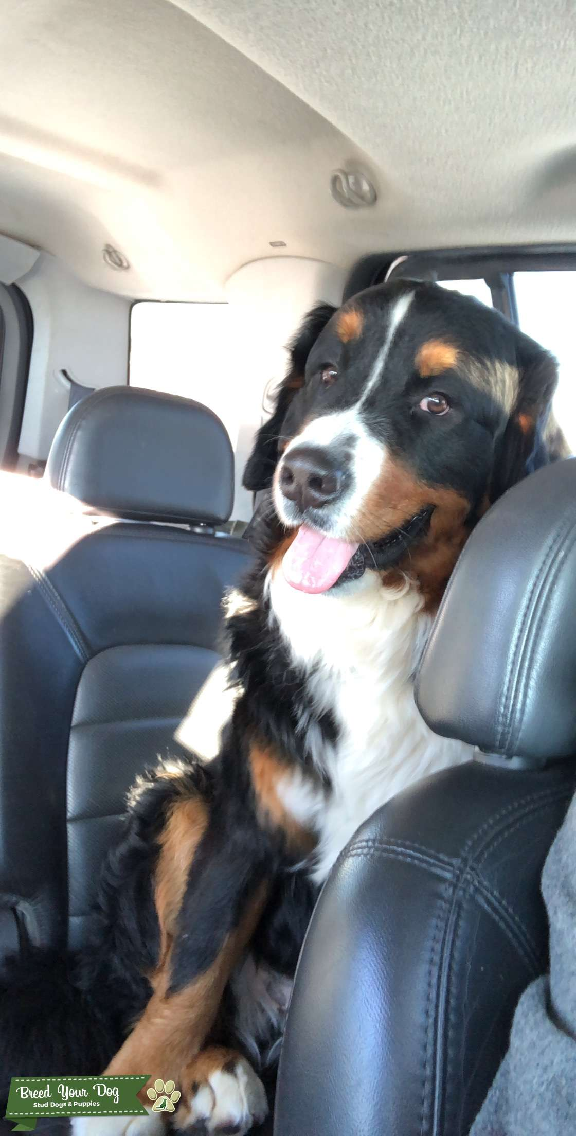Stud Burmese Mountain dog  Listing Image Big