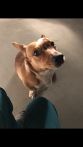 Corgi looking to be a first time dad Listing Image