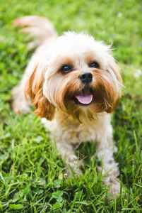 The Most Handsome Cavapoo Around Listing Image