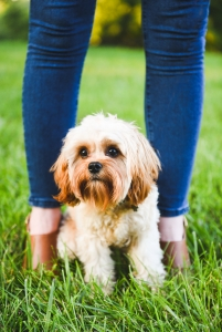 The Most Handsome Cavapoo Around Listing Image Thumbnail