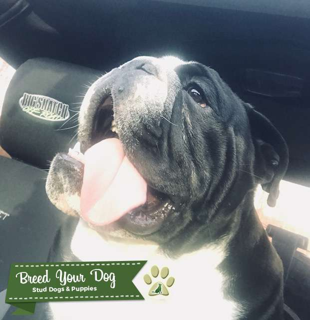 Black Seal English Bulldog Stud Listing Image Big
