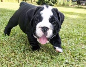 Black Seal English Bulldog Stud Listing Image Thumbnail